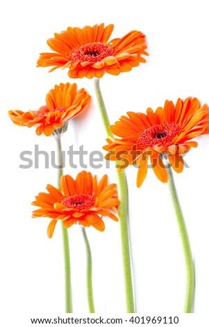Orange gerbera flowers on white arrangement - stock photo