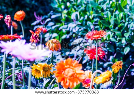 Orange Gerbera in Park, Thailand - stock photo