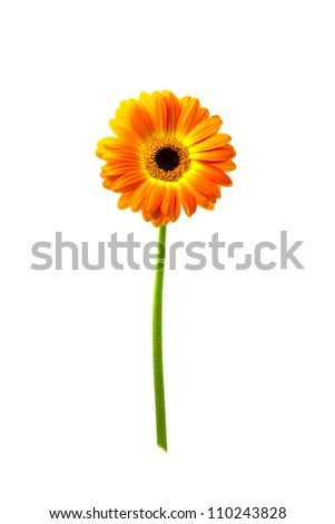 Orange Gerbera isloated against a white background - stock photo