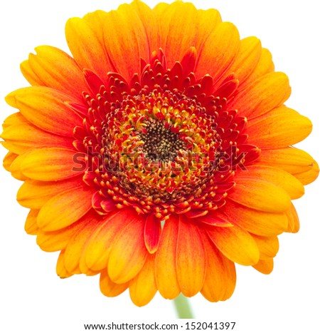 orange gerbera isolated on white background