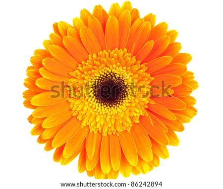 Orange gerbera on white background - stock photo