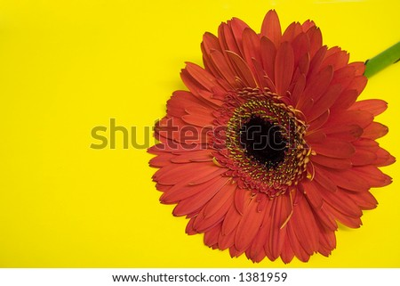 Orange gerbera on yellow background