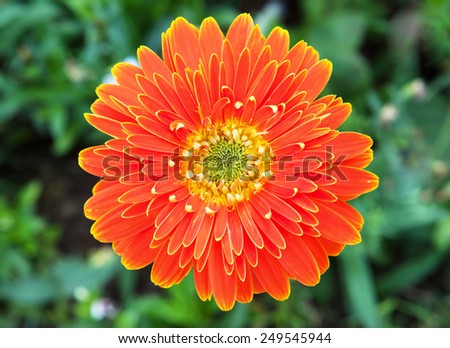orange gerbera with grass background - stock photo