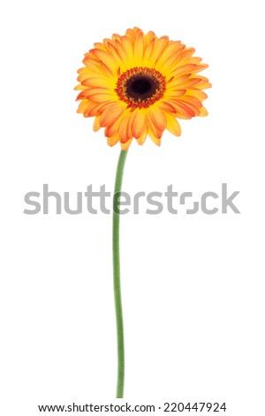 Orange gerbera with stem isolated on white background. - stock photo