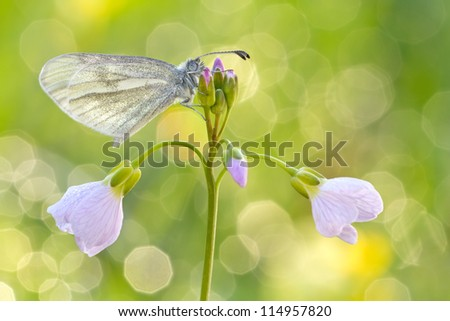 orange glanville fritillary butterfly on a purple Flower  - Melitaea cinxia - stock photo