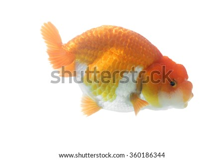 Orange Gold Fish Isolated on White Background Without Shade - stock photo