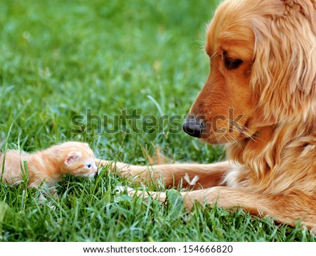 orange golden retriever dog and baby cat outdoor on green grass - stock photo