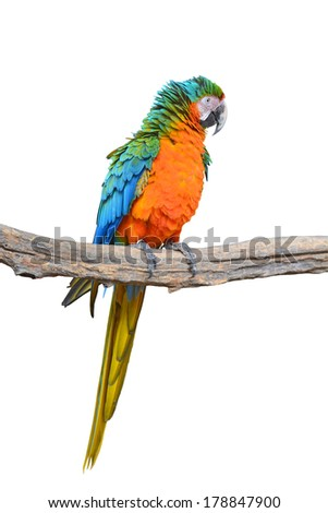 Orange green parrot macaw perching on a branch isolated on white background  - stock photo
