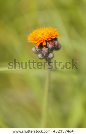 Orange hawkweed - macro shot