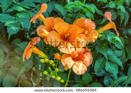 Orange hibiscus flowers on leaves nature background