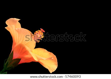 Orange hibiscus on black