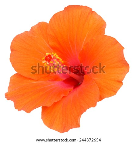 Orange Hibiscus on white background - stock photo