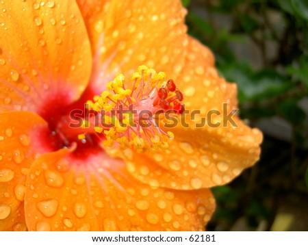 orange hibiscus with raindrops - stock photo
