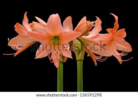 Orange Hippeastrum flower (Hippeastrum roseum) - stock photo