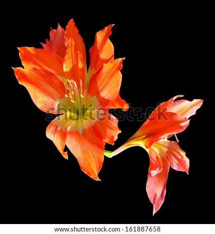 orange (Hipperastrum) flowers isolated on black background  - stock photo