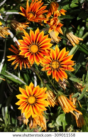"Orange hybrid ""Treasure flower"" in Munich, Germany. Its scientific name is Gazania Rigens ""Kiss Series Orange Flame"" and  cultivated as an ornamental garden plant."
