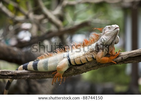 Orange iguana sleep on the branch. - stock photo