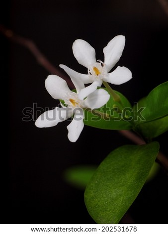 Orange Jessamine, Satin-wood, Cosmetic Bark Tree, white flower under natural lighting outdoor with deep dark green background