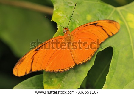 Orange julia butterfly on a leaf.