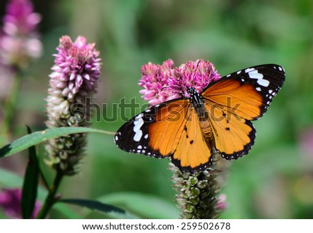 Orange Lacewing butterfly on cockscomb flower. - stock photo