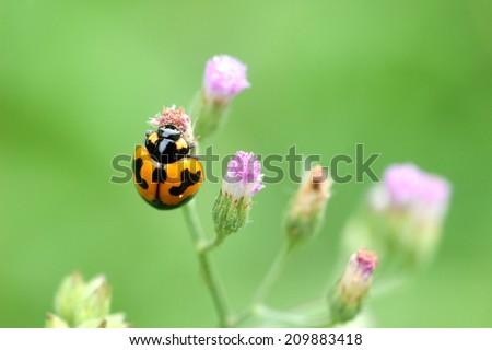 Orange lady bug on flower - stock photo