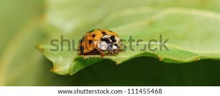 orange ladybug on a green leaf - stock photo
