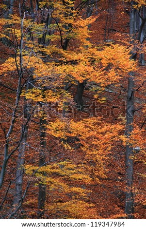 Orange leaves in autumn forrest - stock photo