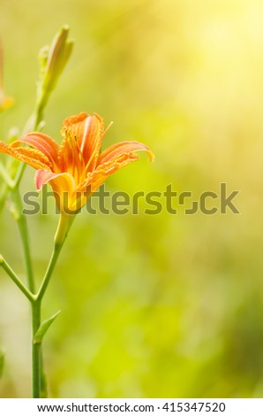 Orange lilly flowers growing in nature, floral holiday sunny background - stock photo