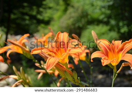 Orange lilly plants along the creek. Shown up close.