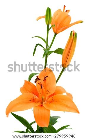 orange lily flower isolated on white background - stock photo
