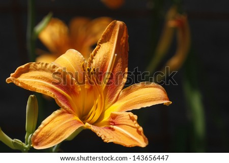 Orange lily flower,Lilium