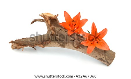Orange lily flower with buds isolated on a white background - stock photo