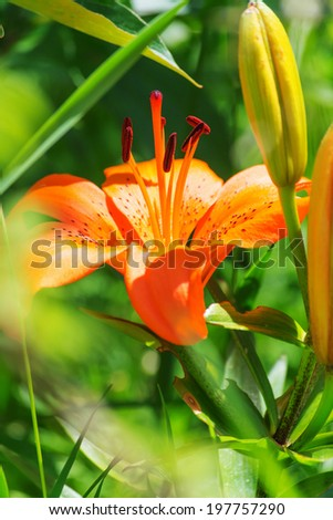 Orange lily flowers - stock photo