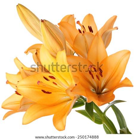 Orange lily flowers - stock photo