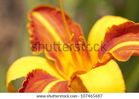 Orange lily flowers bush