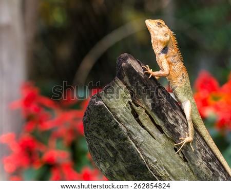 orange lizard sitting on tree in the natural habitat.  - stock photo