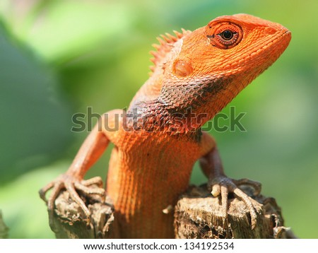 orange lizard sitting on tree in the natural habitat. close-up photos - stock photo
