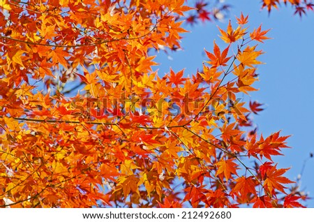 Orange maple leaf and blue sky background.