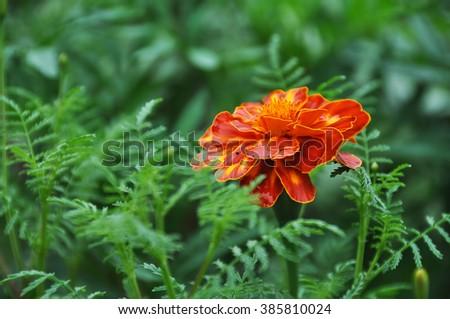 Orange marigold after the rain - stock photo