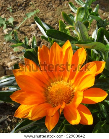 Orange Marigold Flower in Garden Flower Bed