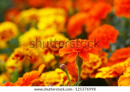 orange marigold flower in the flower garden - stock photo