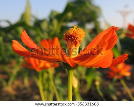 Orange marigold growing in a vegetable garden - stock photo