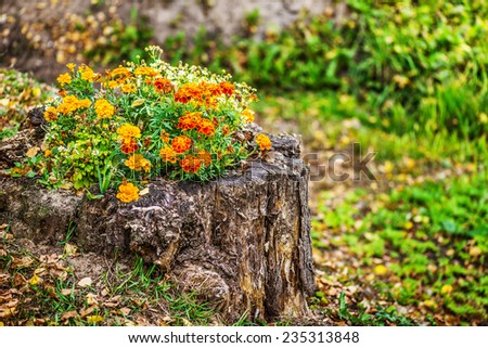 Orange marigold in flowerbed in stum, summer city park. - stock photo