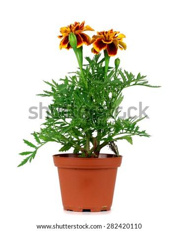 Orange Marigold plant in  pot isolated over white background - stock photo
