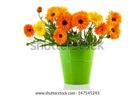 Orange marigolds in green bucket isolated over white background