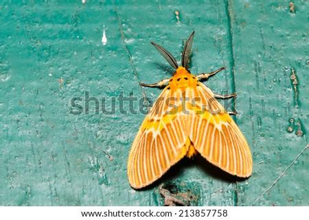 Orange moth on wall, lymantriidae - stock photo