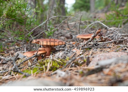 Orange mushrooms on the forest background