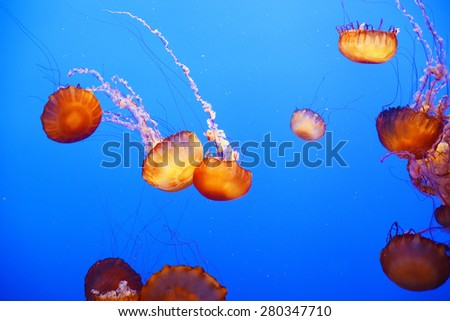 orange nettle jellyfish with blue background - stock photo