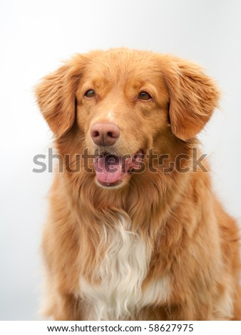 orange Nova Scotia Duck Tolling Retriever