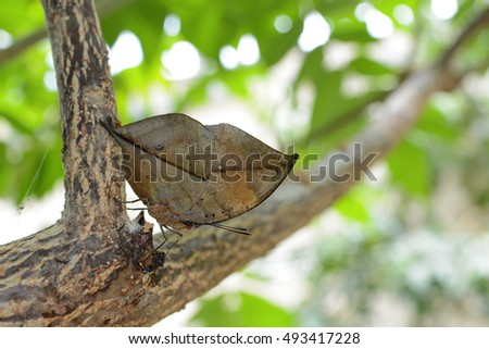 Orange oakleaf butterfly displaying near perfect immitation of an oak leave, scientific name Kallima inachus